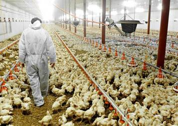 Photo of farmer walking down rows of chickens